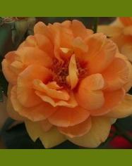 Persian Peach