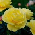 Sunbeam Flower Circus ®