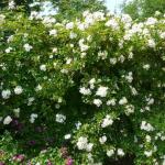 Rosa longicuspis