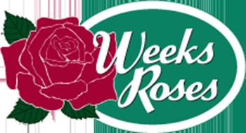 Weeks róże amerykańskie
